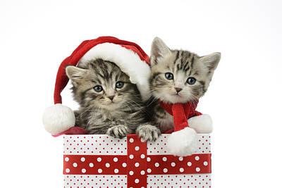 Kitten In Presents Print by Greg Cuddiford