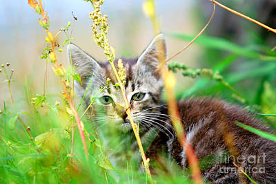 Animals Photograph - Kitten In The Grass by Michal Bednarek