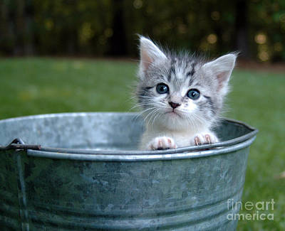 Gray Tabby Photograph - Kitty In A Bucket by Jt PhotoDesign
