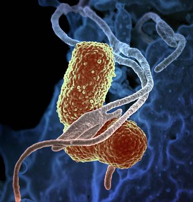 Bacterium Photograph - Klebsiella Pneumoniae Bacteria by Ami Images