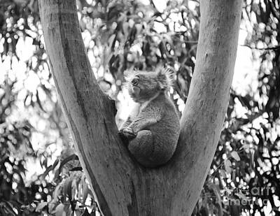 Koala Photograph - Koala Black And White by Tim Hester