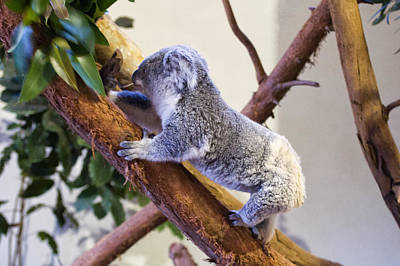 Koala Digital Art - Koala Climbing Tree by Chris Flees