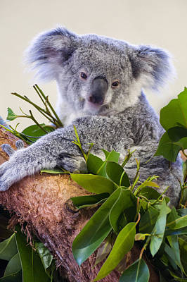 Koala On Top Of A Tree Print by Chris Flees