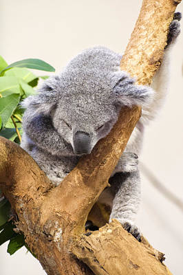Koala Digital Art - Koala Sleeping  by Chris Flees