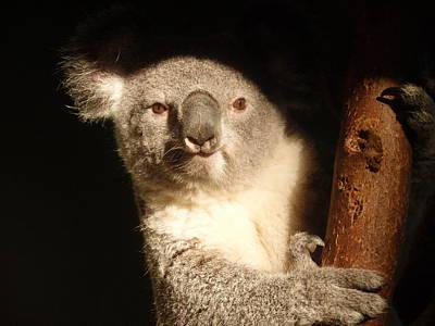 Koala Print by Toni Abdnour