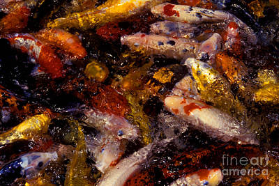Koi Feeding Time Print by Paul W Faust -  Impressions of Light