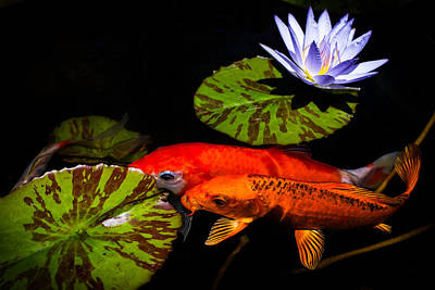 Fish Photograph - Koi Play In The Pond by Priya Ghose