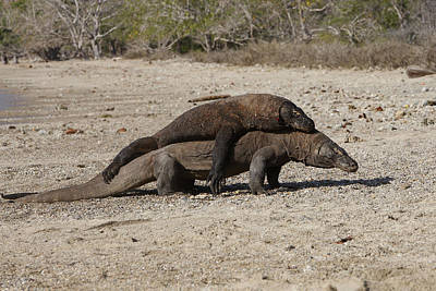 Indonesian Wildlife Photograph - Komodo Dragon Fight by M. Watson