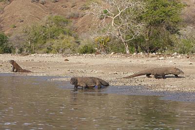 Indonesian Wildlife Photograph - Komodo Dragons by M. Watson