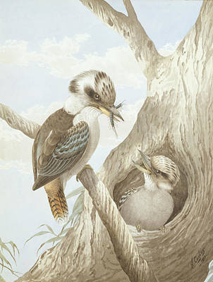 Australian Drawing - Kookaburras Feeding At A Nest by Neville Henry Peniston Cayley