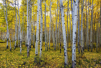 Southern Utah Photograph - La Sal Aspen by Mark Kiver