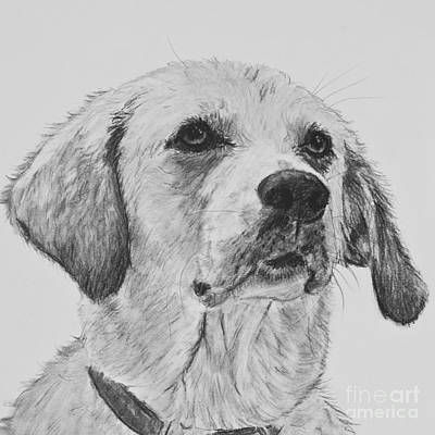 Lab Drawing - Labrador Looking Up by Kate Sumners
