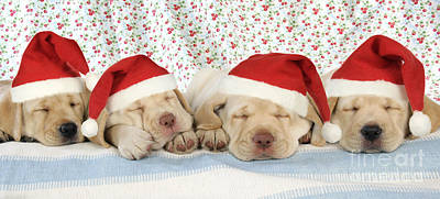 Puppy Christmas Photograph - Labrador Puppy Dogs Wearing Christmas by John Daniels