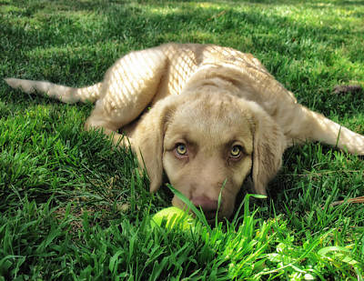 Puppy Photograph - Labrador Puppy by Larry Marshall