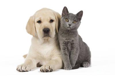 Labrador Puppy With Chartreux Kitten Print by Jean-Michel Labat