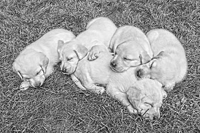 Labrador Retriever Puppies Nap Time Black And White Print by Jennie Marie Schell