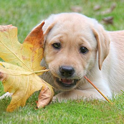 Labrador Retriever Puppy With Autumn Leaf Print by Jennie Marie Schell