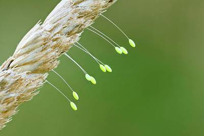 Lacewing Photograph - Lacewing Eggs by Nicolas Reusens
