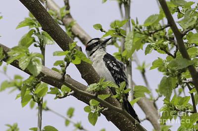 Ladderback Woodpecker Print by Michelle Horsman