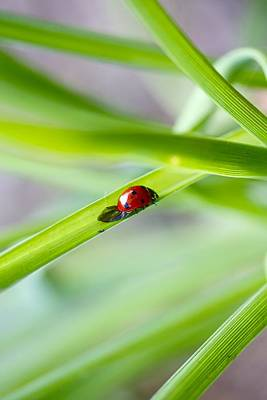 Lady Bug Climbing A Blade Of Grass Print by Jennifer Lamanca Kaufman