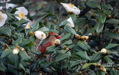 Of Birds Photograph - Lady Camellia by Skip Willits