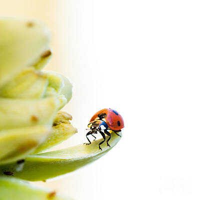 Ladybugs Photograph - Ladybird On Desert Flower by Jane Rix
