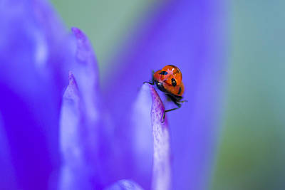 Ladybug Photograph - Ladybug Adventure by Priya Ghose