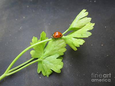 Ladybug Drawing - Ladybug On A Parsley Stalk 2 by Tara  Shalton