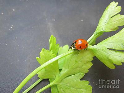 Ladybug Drawing - Ladybug On A Parsley Stalk 4 by Tara  Shalton