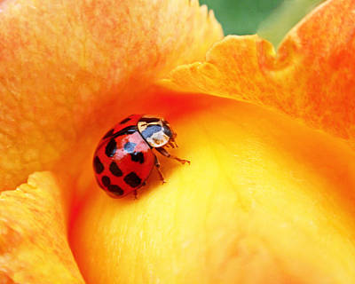 Rose Photograph - Ladybug by Rona Black