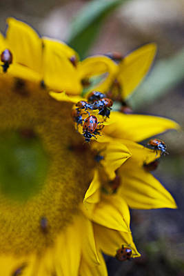Ladybugs Close Up Print by Garry Gay