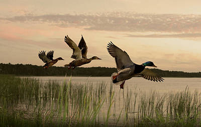 Lake Tarpon Ducks Print by Schwartz