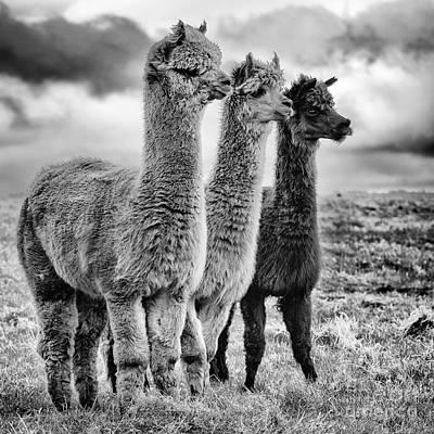 Llama Photograph - Lama Lineup by John Farnan