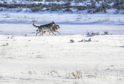 Lamar Canyon Wolves Original by Deby Dixon