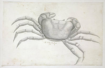 Land Crab Print by Natural History Museum, London