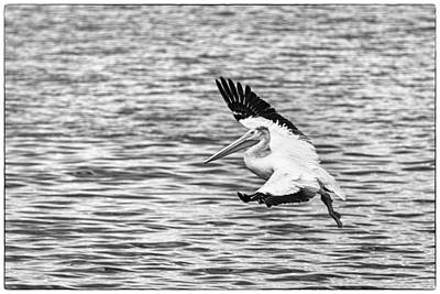 Lone Pelican Photograph - Landing Pelican In Black And White by Thomas Young