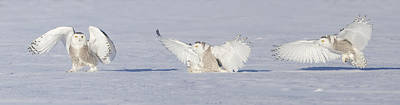 Landing Snowy Owl Print by Mircea Costina Photography