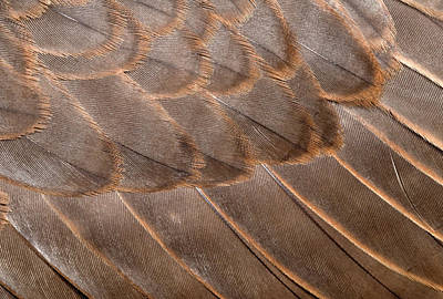 Falcon Photograph - Lanner Falcon Wing Feathers Abstract by Nigel Downer