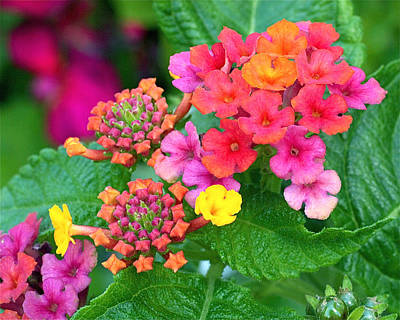 Lantana Print by Rona Black