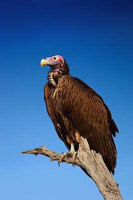 Perched Photograph - Lappetfaced Vulture Against Blue Sky by Johan Swanepoel