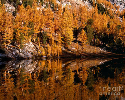 Larch Trees Reflected On Cooney Lake Print by Tracy Knauer