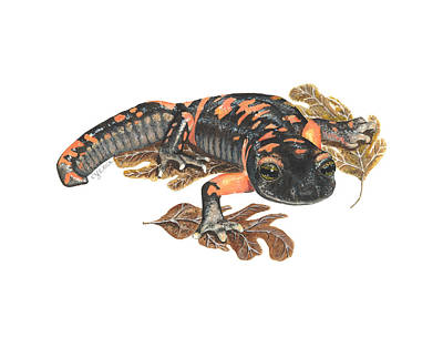 Salamanders Painting - Large Blotched Salamander2 by Cindy Hitchcock