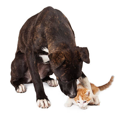 Large Dog Playing With Kitten Print by Susan  Schmitz