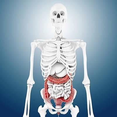 Cage Photograph - Large Intestine And Skeleton by Springer Medizin