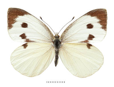 Cabbage White Butterfly Photograph - Large White by Natural History Museum, London