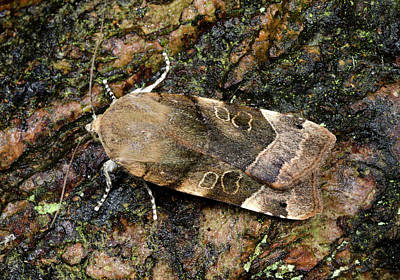 Large Yellow Underwing Moth Print by Nigel Downer