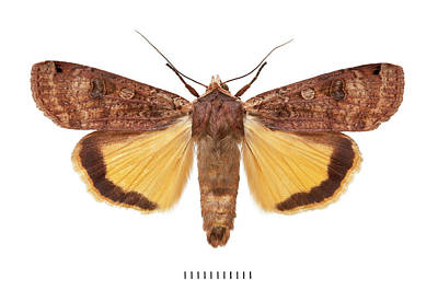 Owlet Photograph - Large Yellow Underwing by Natural History Museum, London