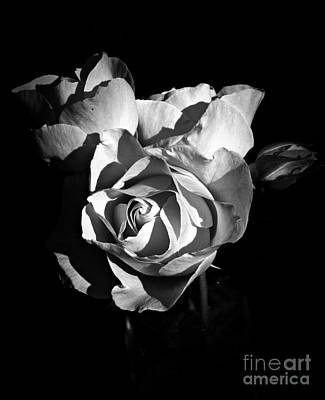 Neurotic Images Photograph - Last Roses Of Summer Bw by Chalet Roome-Rigdon