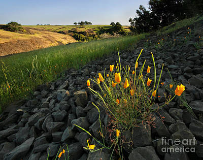 Chico Photograph - Late Poppies On North Table Mountain by Matt Tilghman