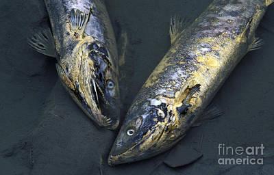 Late Run Salmon Print by Ron Sanford